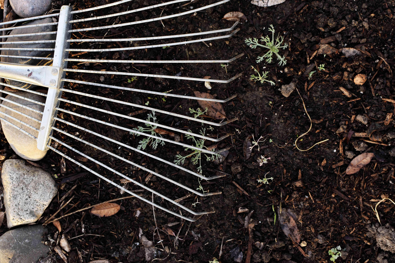 thinning seedlings by rake
