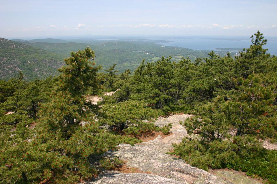 Jack pine trees on mountain