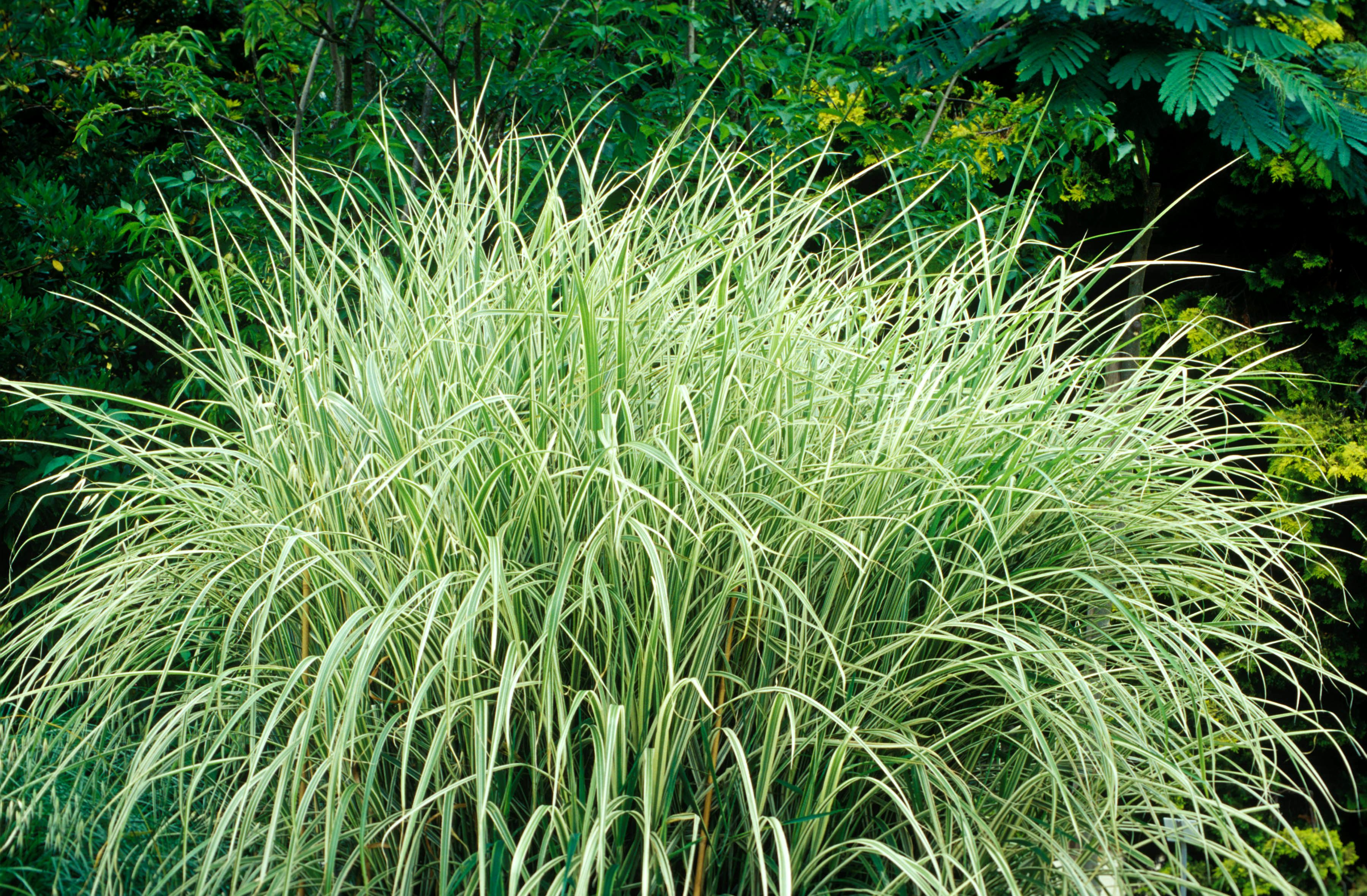 8 Best Ornamental Grasses To Add Privacy To The Garden