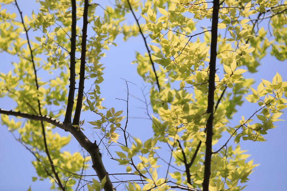 Green Japanese Zelkova leaves against a blue sky