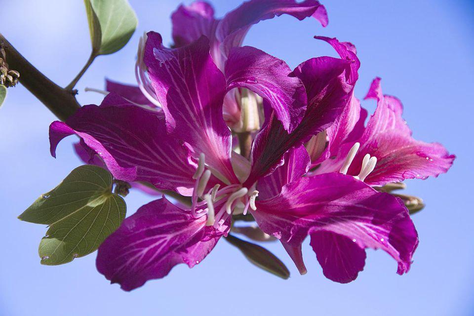 Bauhinia blakeana blossom