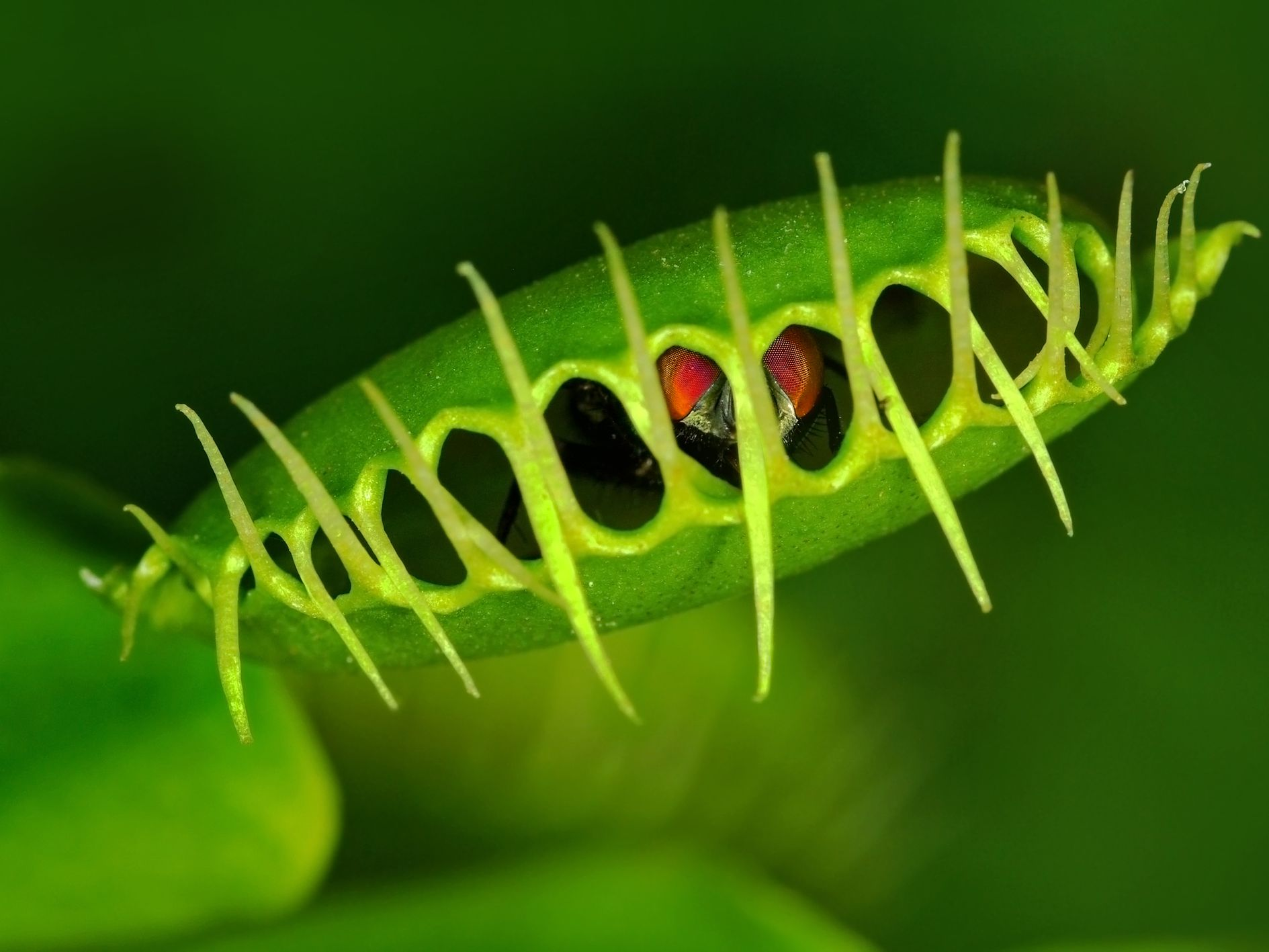 Venus Fly Trap Plant Care And Growing Guide