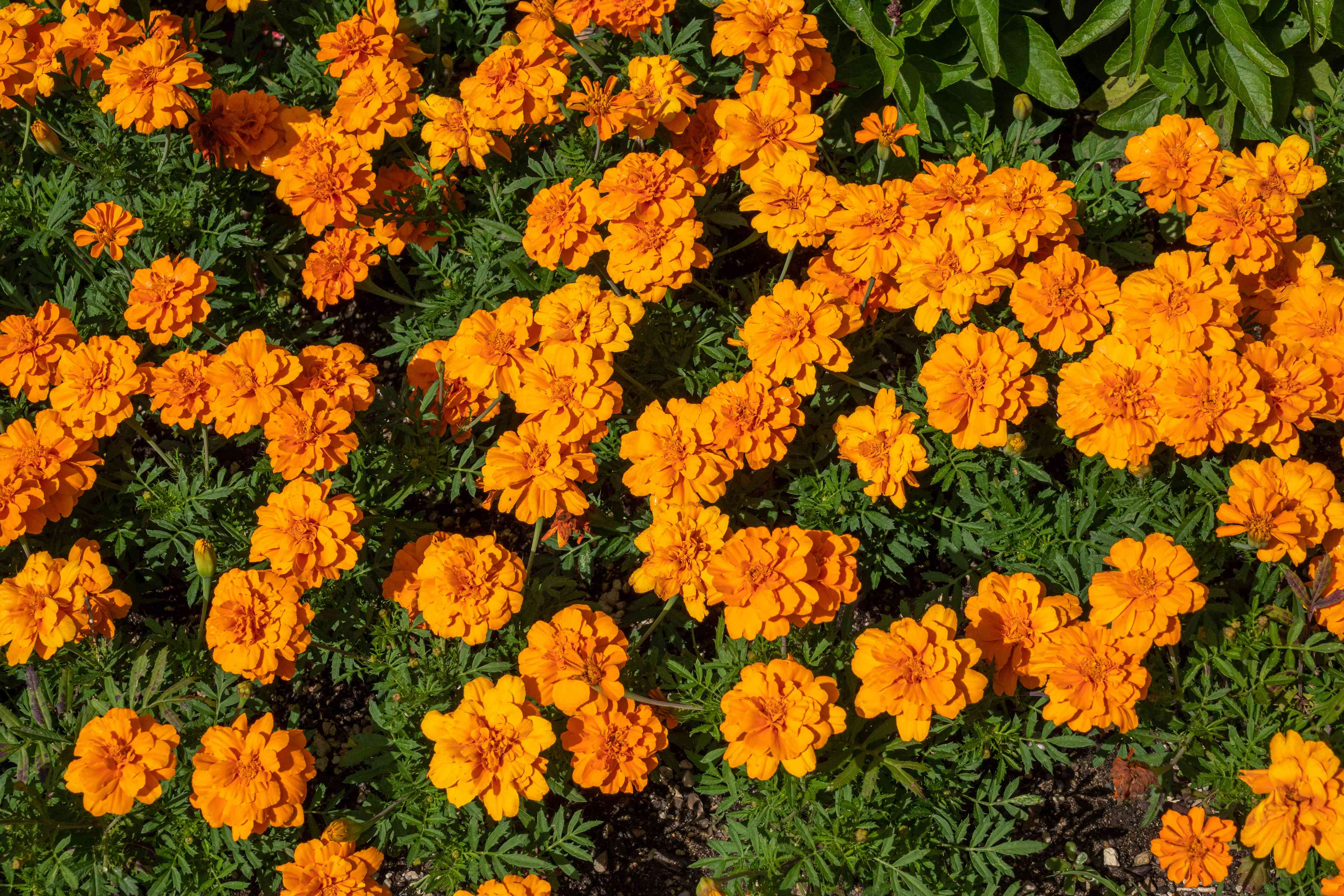 Marigold plant with bright orange ruffled flowers in sunlight