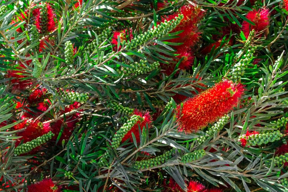 Weeping bottlebrush plant with red stamen bunched together in between leaves