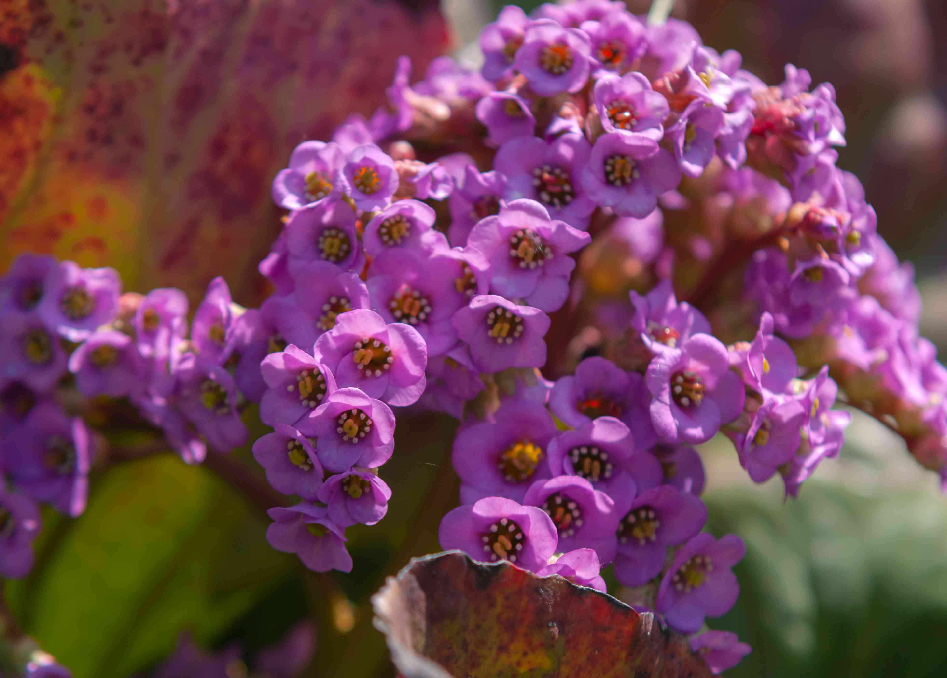 Bergenia plant with small deep pink flowers clustered together in sunlight closeup