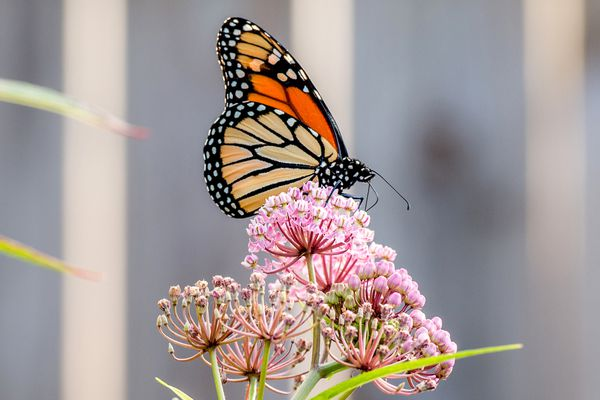 Swamp milkweed with small pink flower clumps and buds with monarch butterfly on top