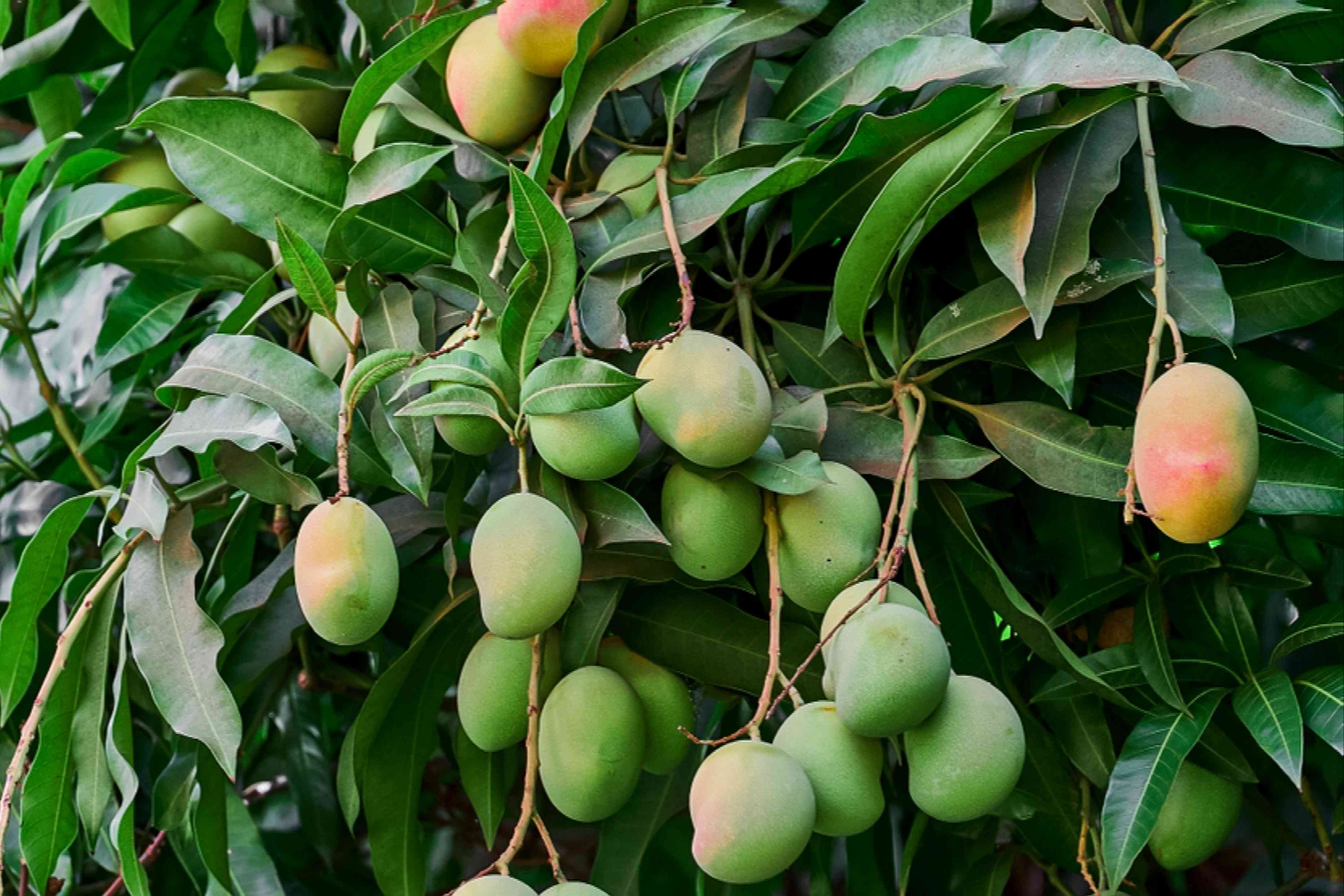 Green and yellow mangoes hanging from tree branches