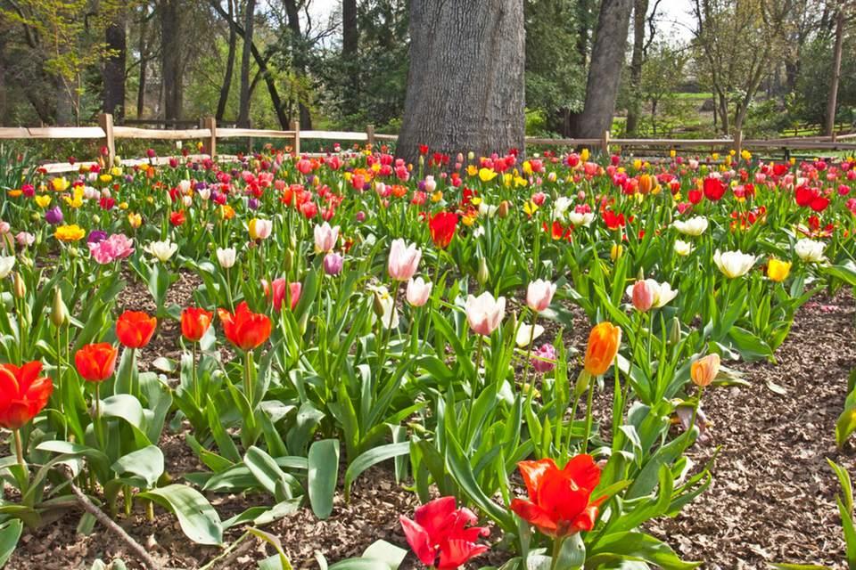 Tulips at Jensen Botanical Garden