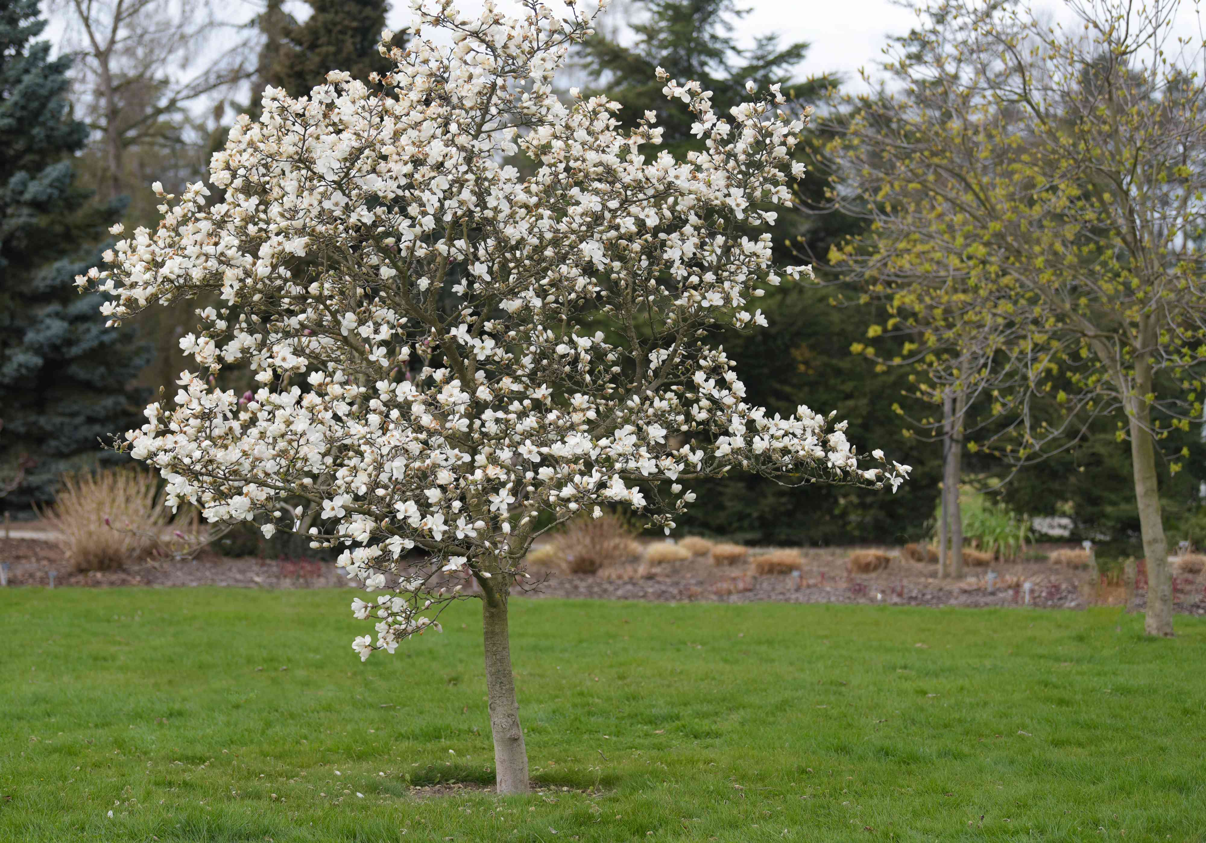Kobus magnolia tree in middle of field with white flowers blooming on branches