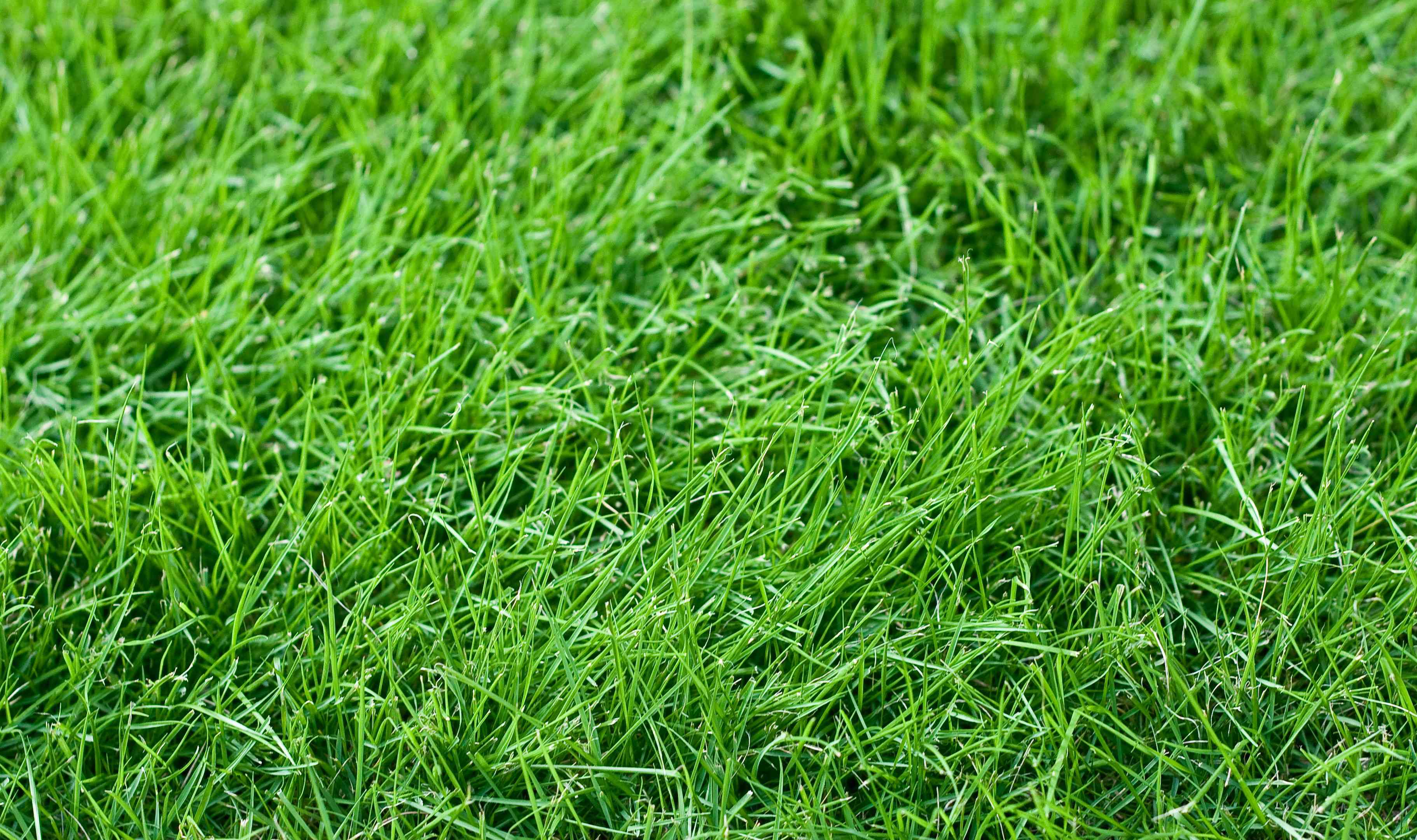 Fescue grass; best grasses for dogs