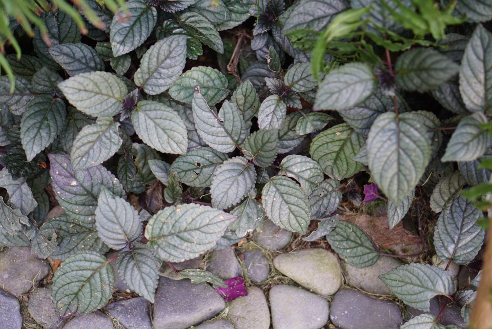 Purple waffle plant with gray-green and veined leaves next to pebble stones