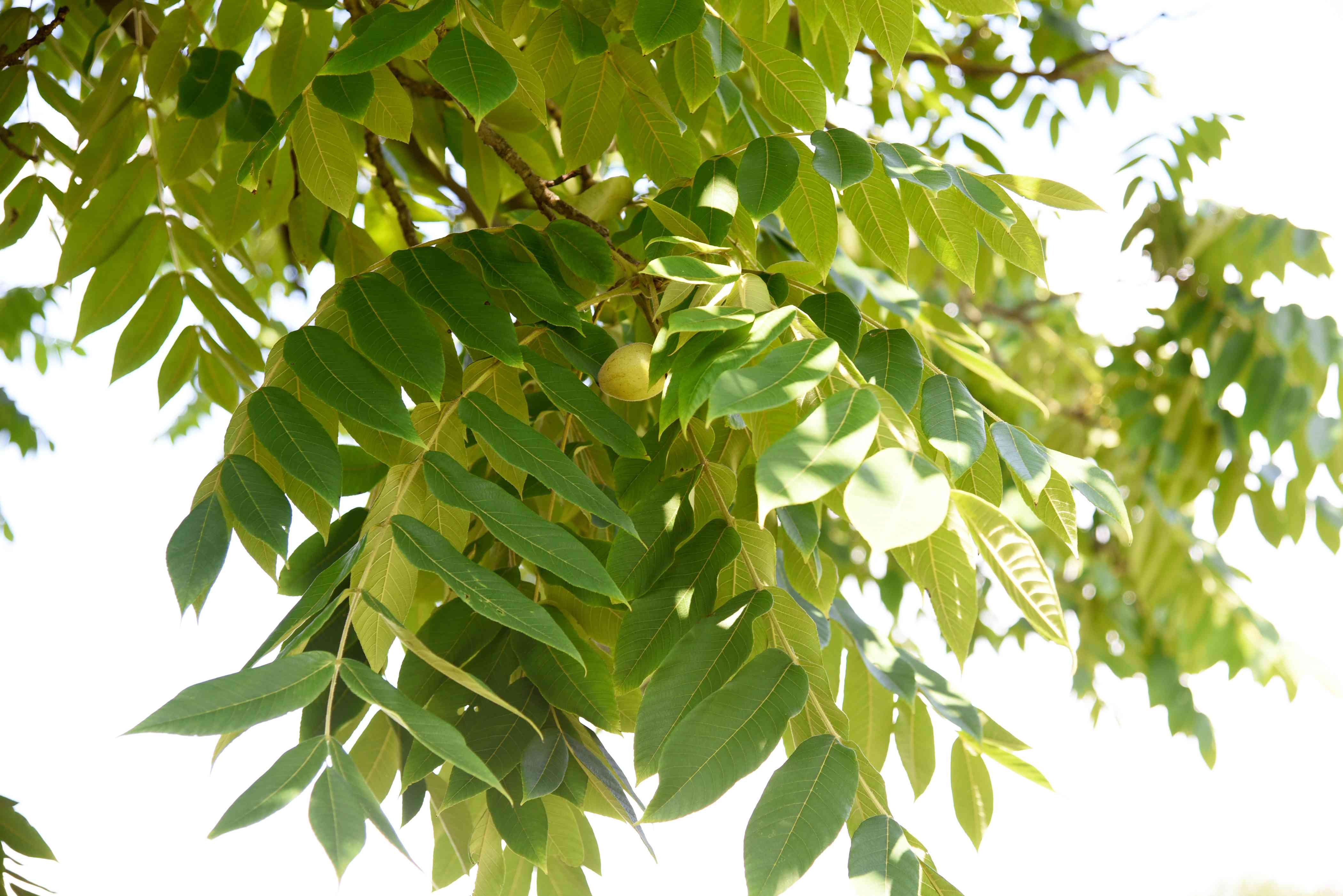 Butternut tree branch with oval light and bright green leaves with nut in the middle