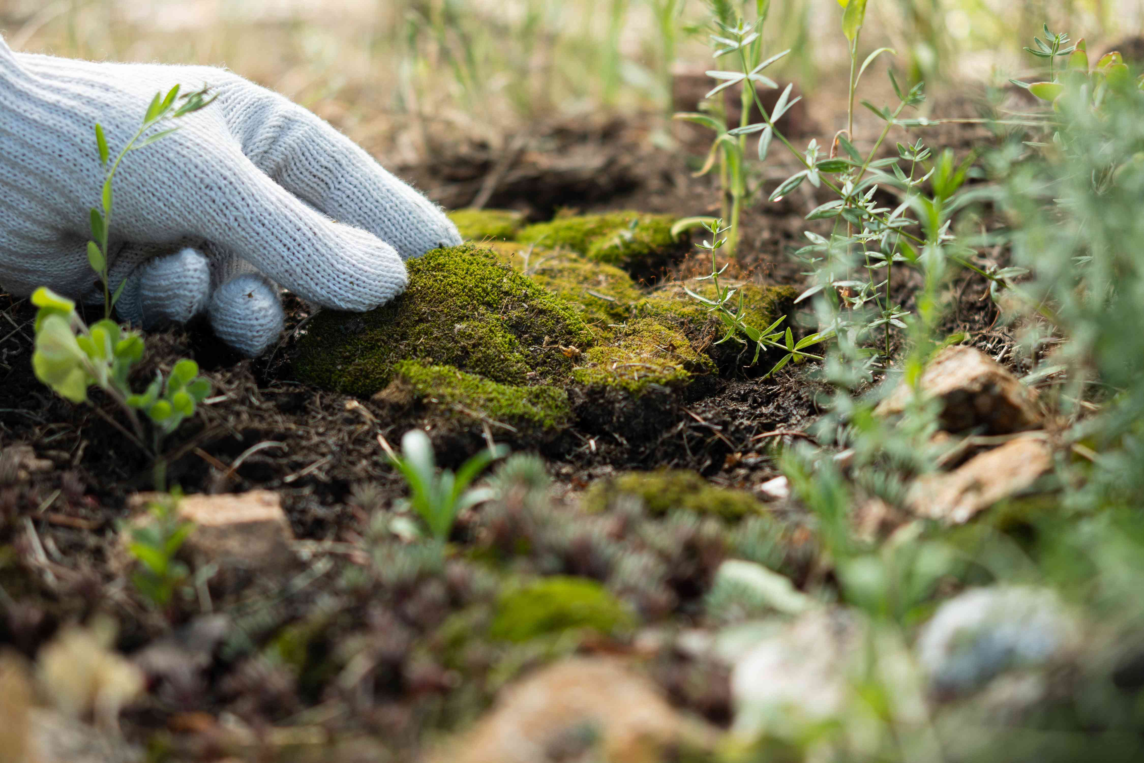 Moss pieces being laid over moist soil with gloves