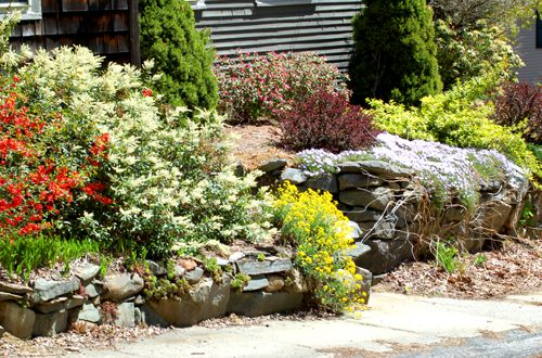 Foundation planting displaying a wild jumble of spring color.
