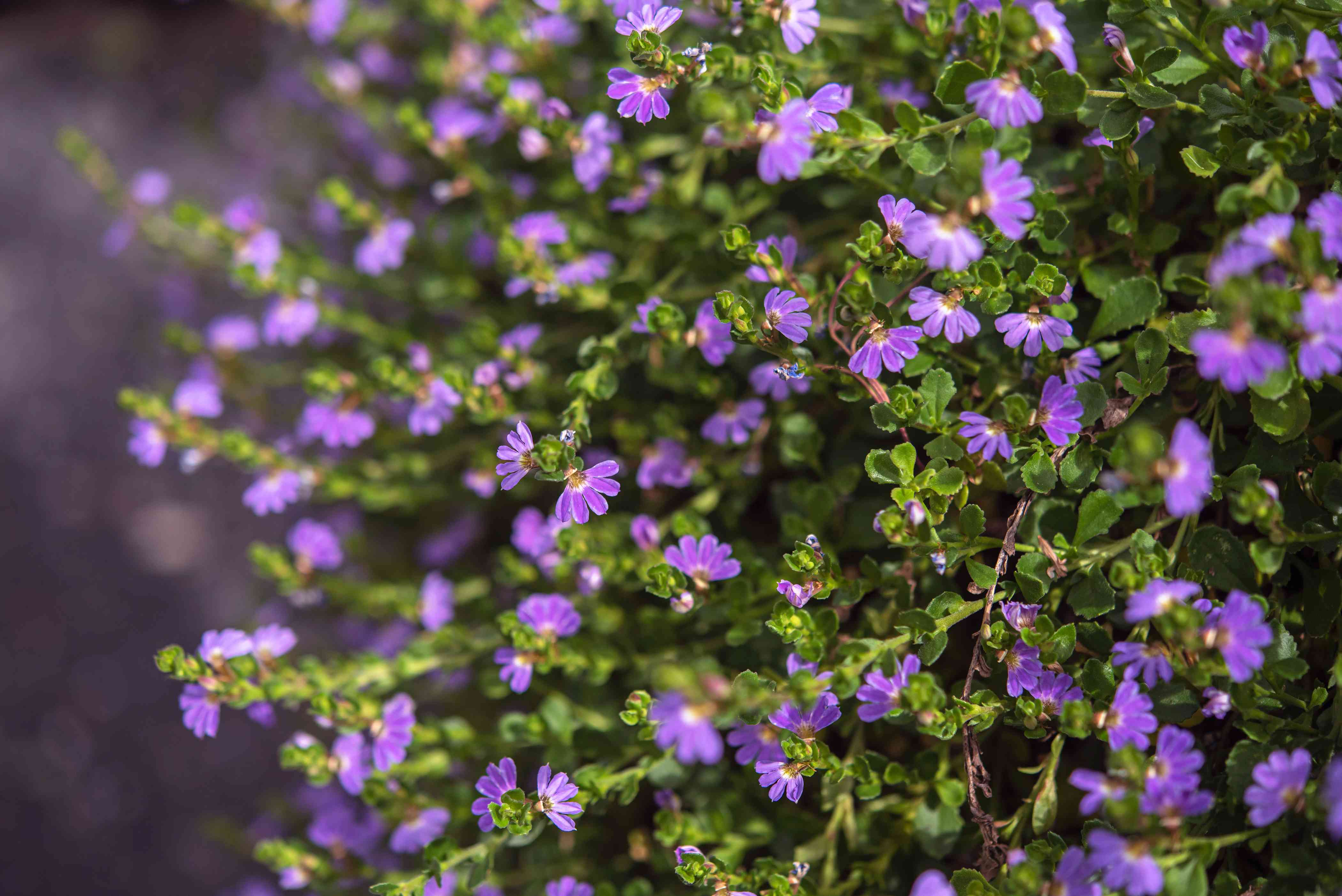 Scaevola plant with small purple flowers on thin green leaves closeup