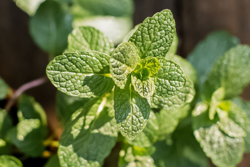 closeup of mint leaves