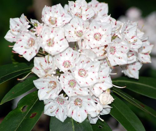 Picture of Mountain Laurel Shrubs