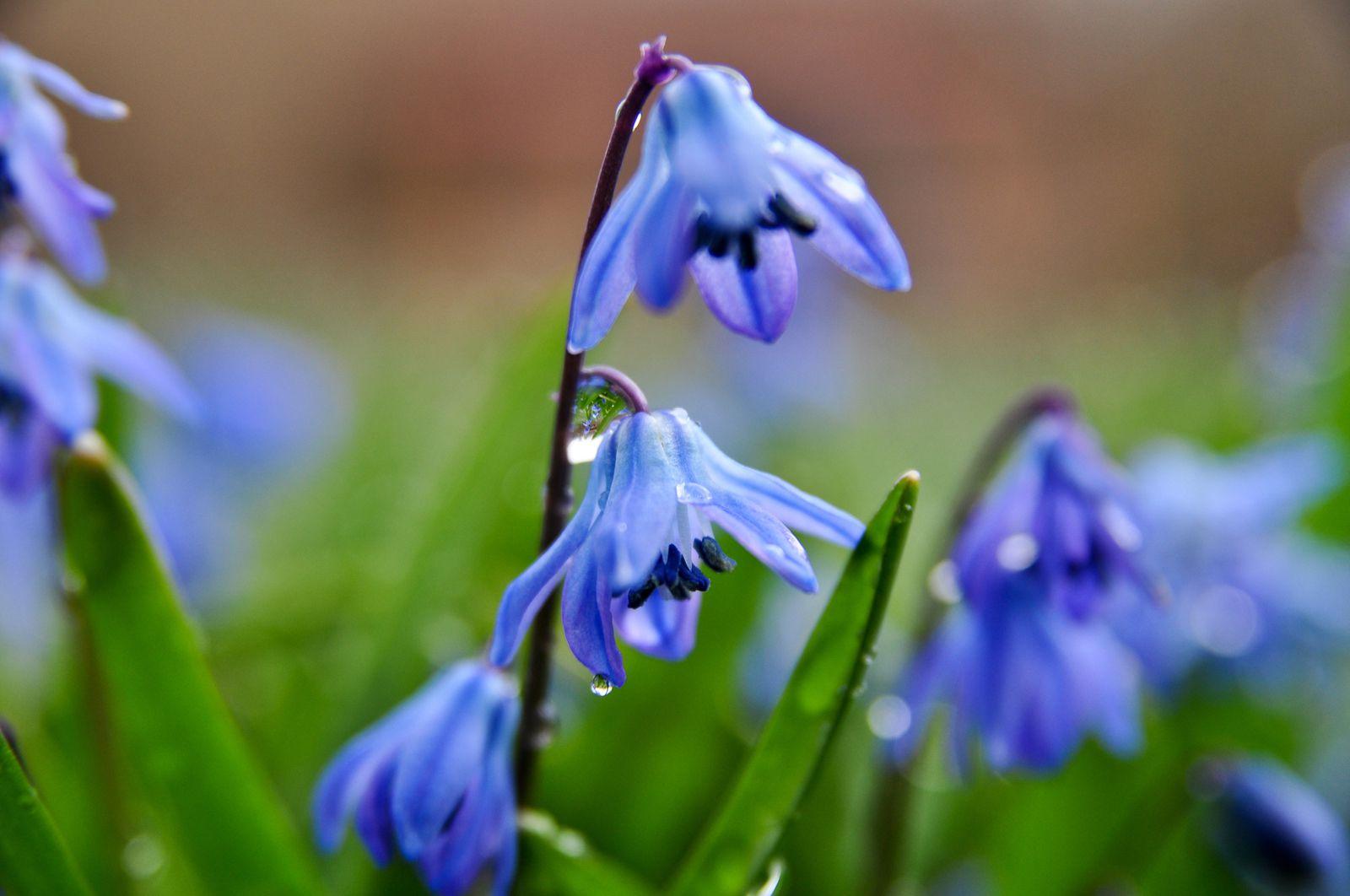 12 beautiful blue flowering plants for the garden siberain squill bulbs izmirmasajfo