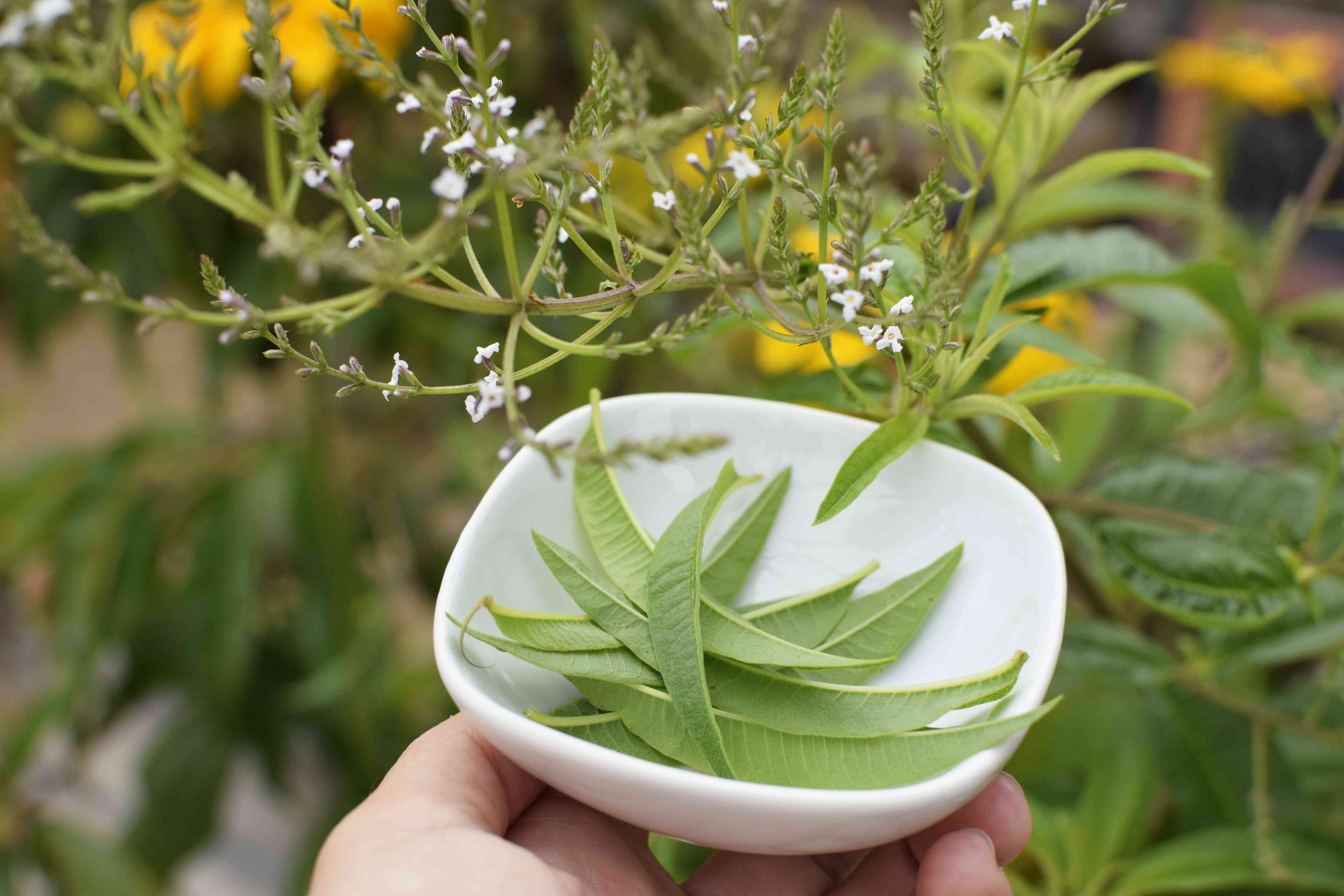 Lemon verbena plant stems with small white flowers over white bowl of picked leaves