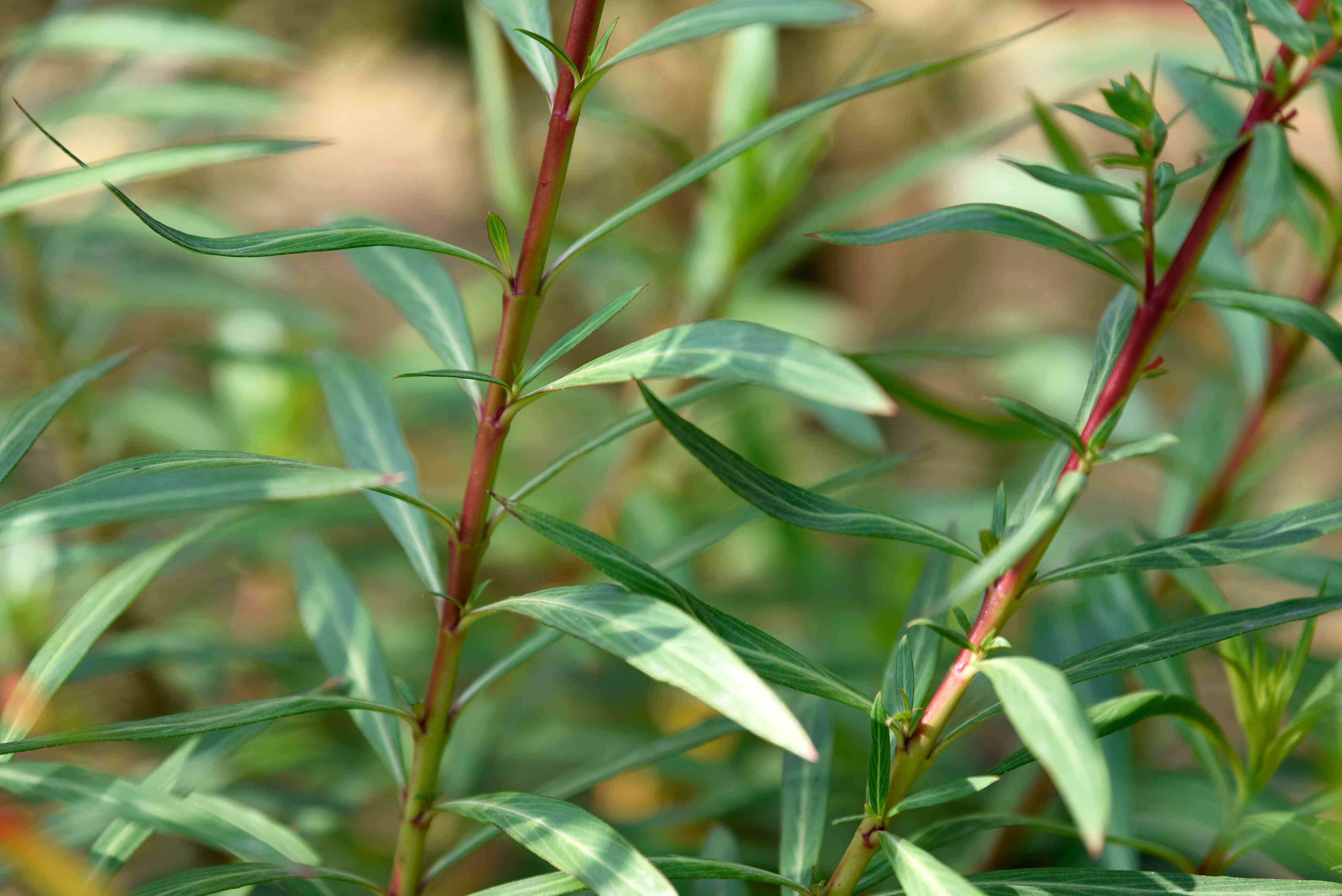 Candy corn plant with upright red stems and light green narrow leaves closeup