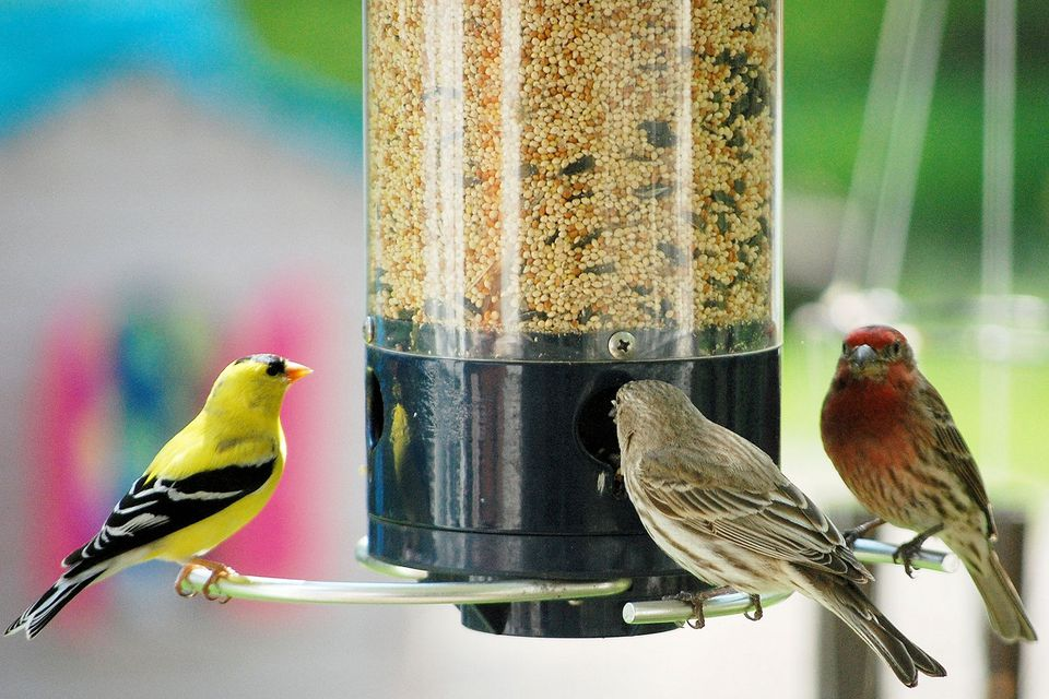 Finches at a Bird Feeder