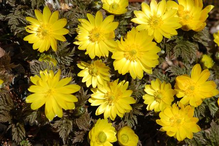 Earliest flowers to bloom in spring best choices adonis flowers blooming in a mass upon feathery foliage mightylinksfo