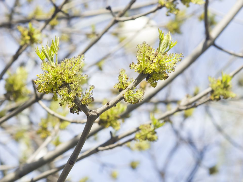 European ash tree budding in spring