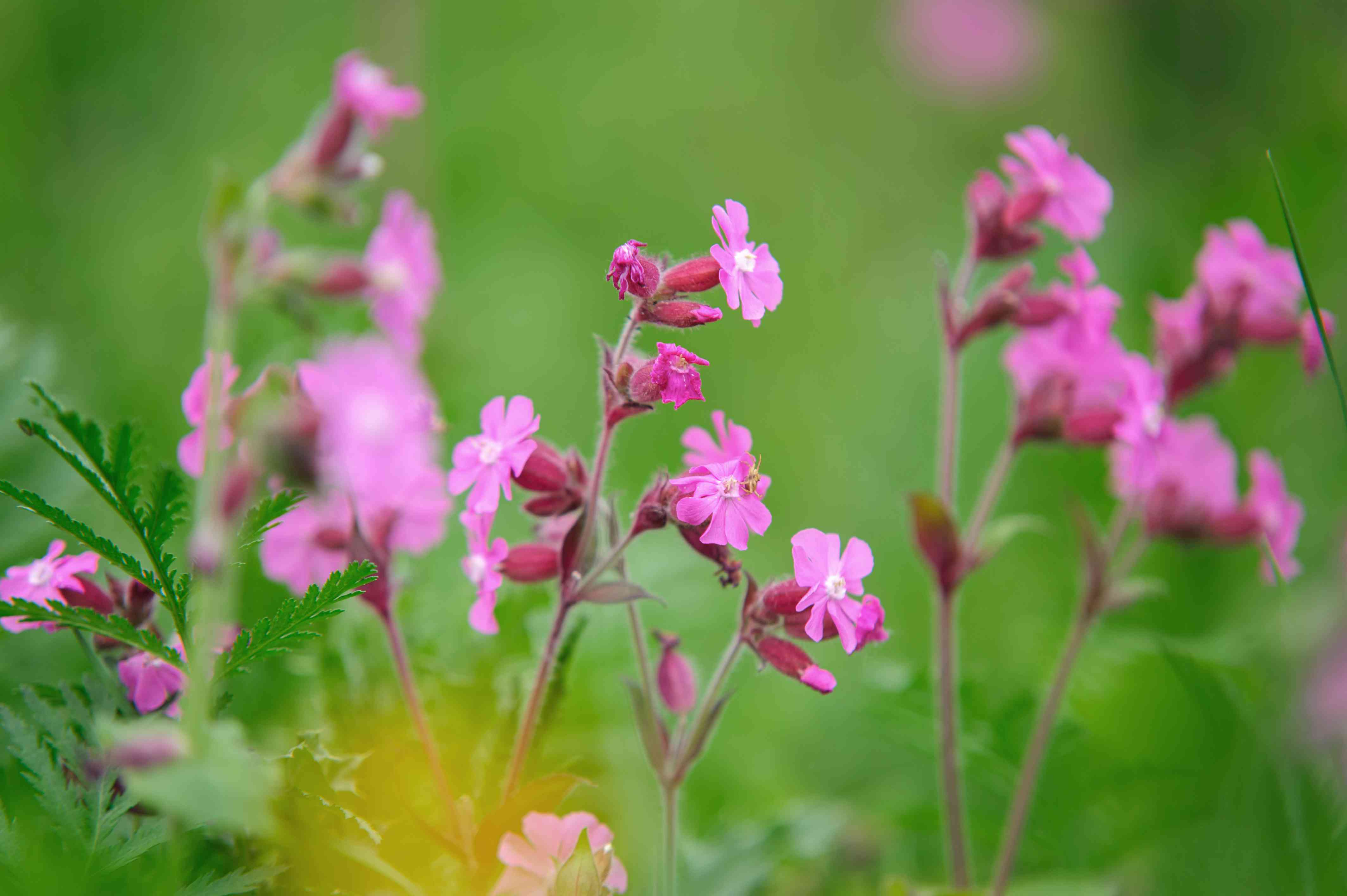 Red campion plant with small pink star-shaped flowers on thin stems closeup