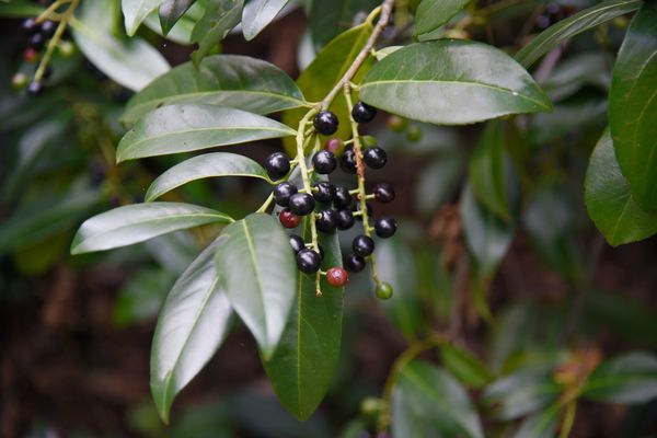 Cherry laurel shrub branch with waxy leaves and black