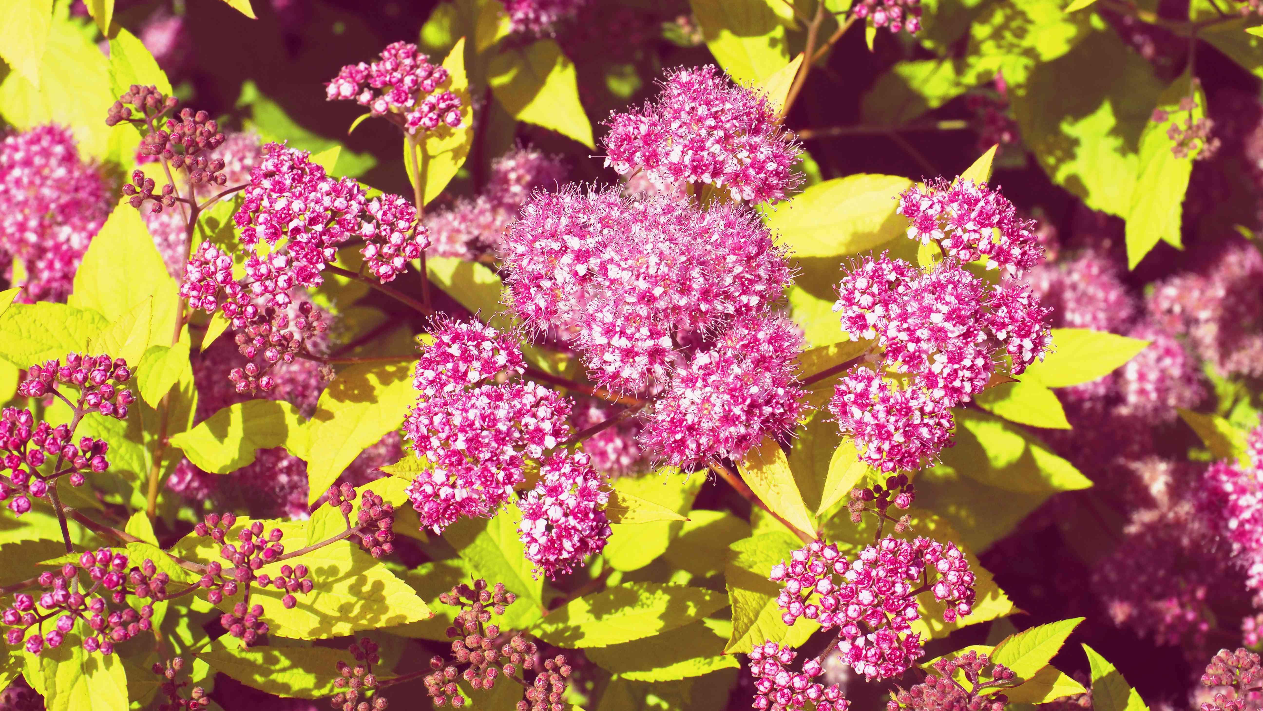 Beautiful pink flowers of summer-flowering spiraea