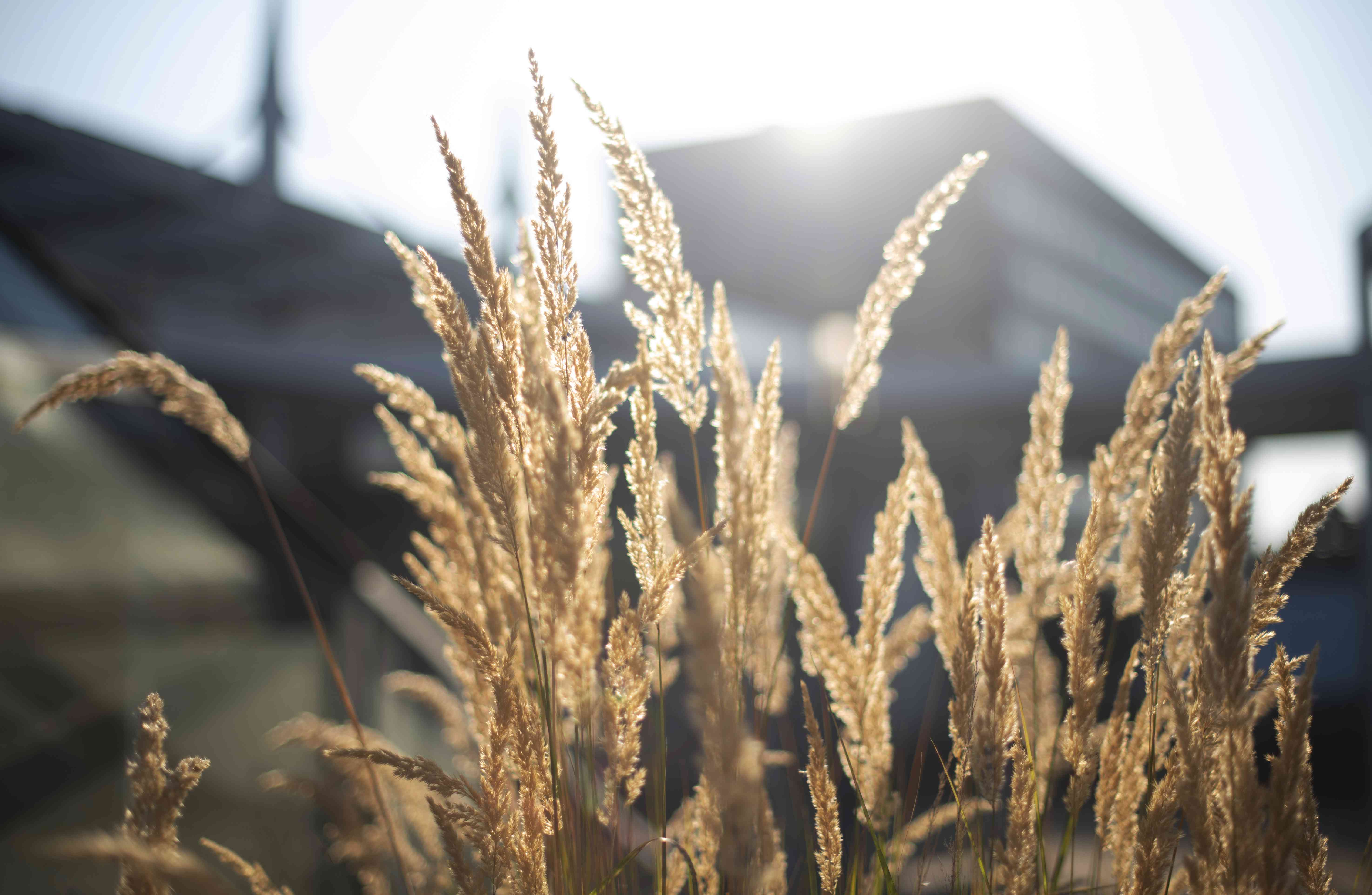 Feather reed grass in front of sunlight