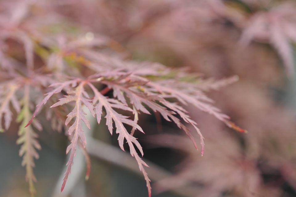 Red Dragon Japanese Maple (Acer palmatum var. dissectum 'Red Dragon')