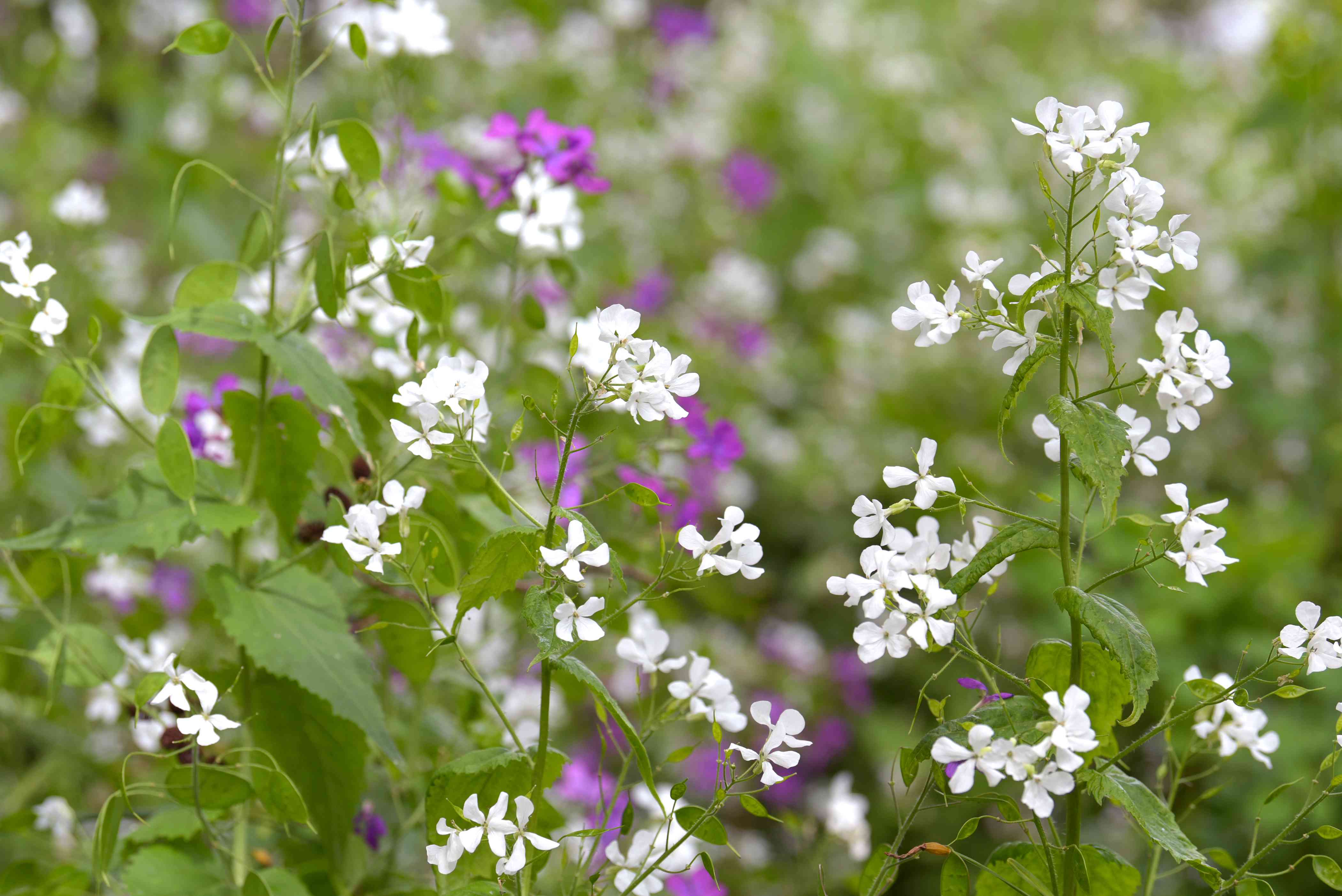 Lunaria plant with small white and purple flowers on thin stems
