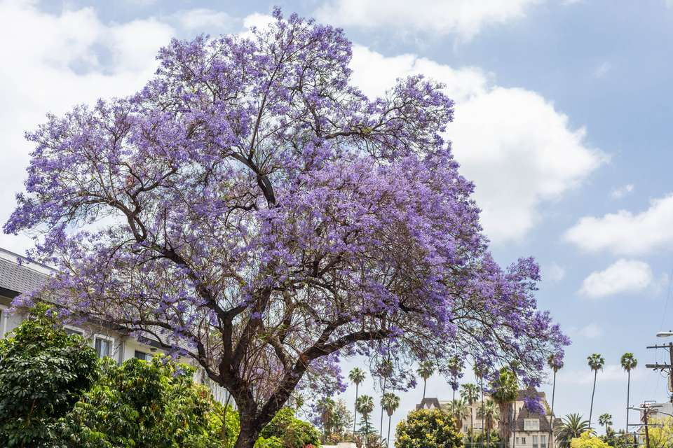 Jacaranda tree with light purple flowers in front of palm tress and sky with clouds