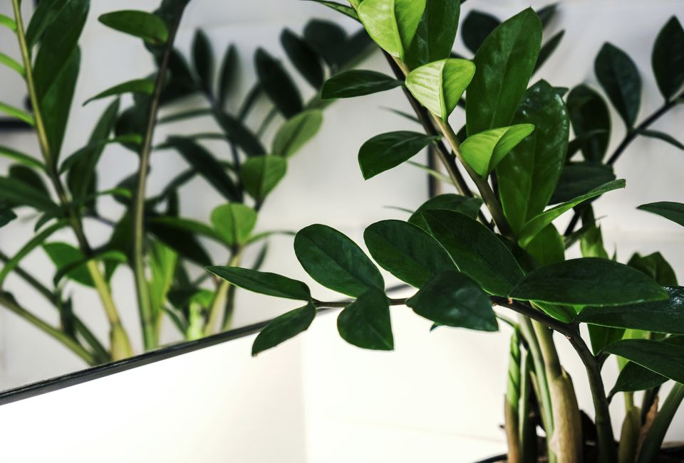 Close up shot of a ZZ plant (Zanzibar Gem) leaves in front of a mirror.