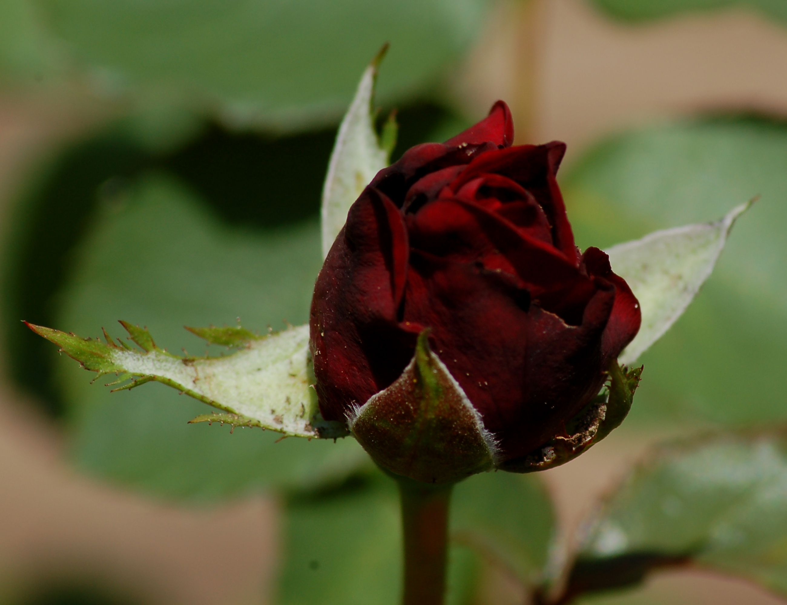 What Black Roses Mean and Other Facts About Roses