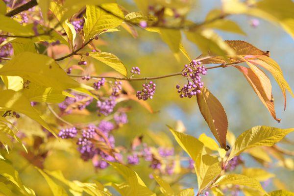beautyberry shrub