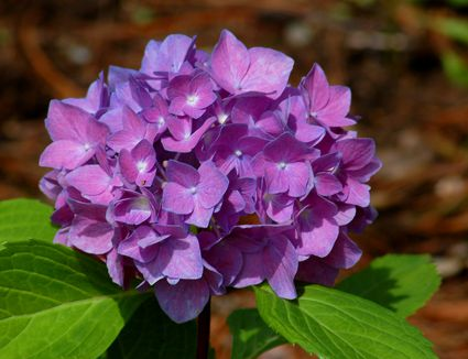 Dwarf flowering almond bush has giant impact in spring learn how to change the color of your hydrangea to purple mightylinksfo