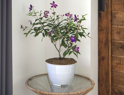Tibouchina plant with think branches and deep purple flowers in white pot in room corner