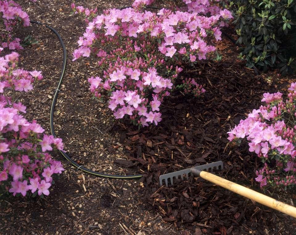 Watering azaleas through a seep hose hidden under mulch