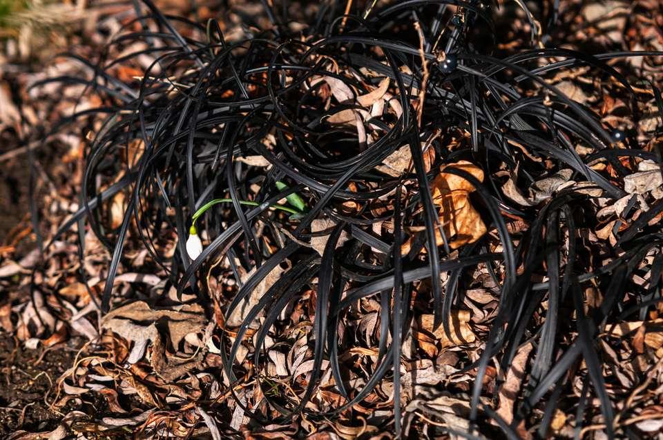 Black mondo monkey grass among leaves