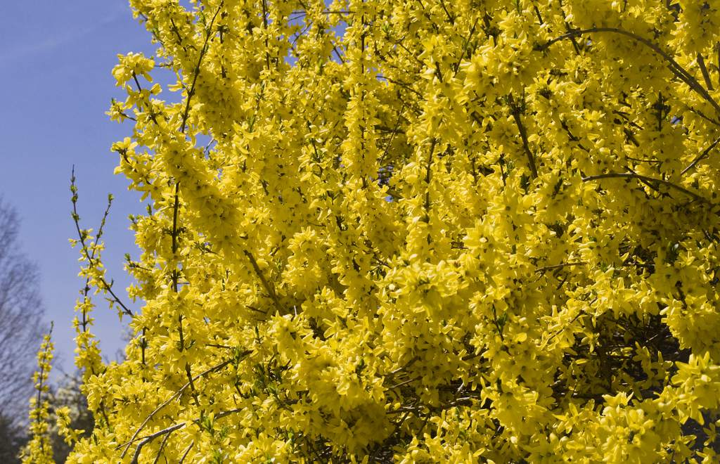 Early Spring Flowering Shrubs