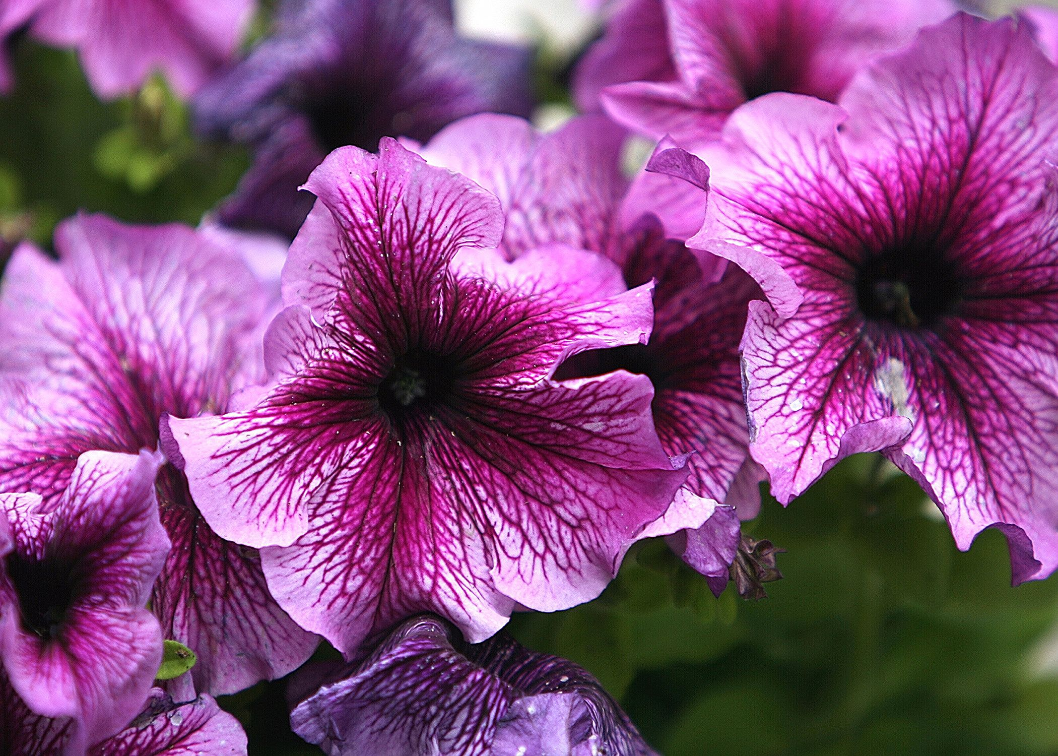How to grow petunias that will bloom all summer izmirmasajfo