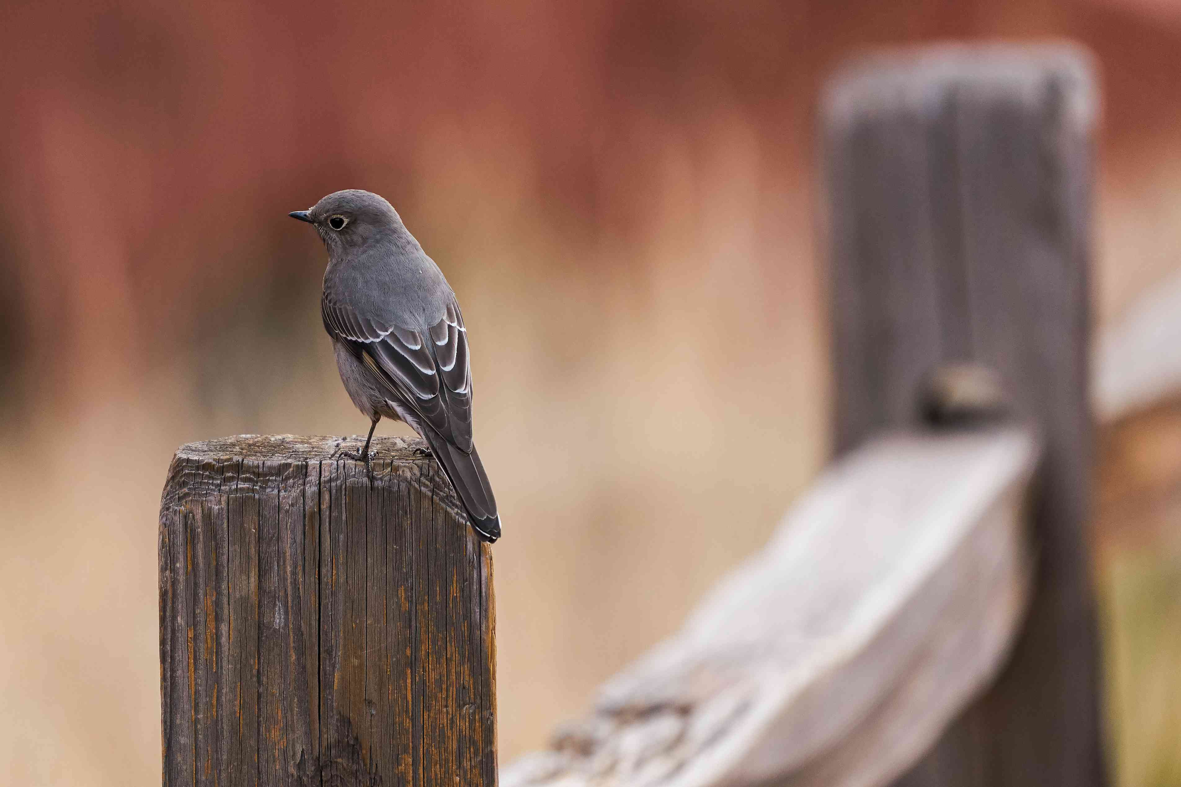 Plumbeous Vireo perched on a fence post