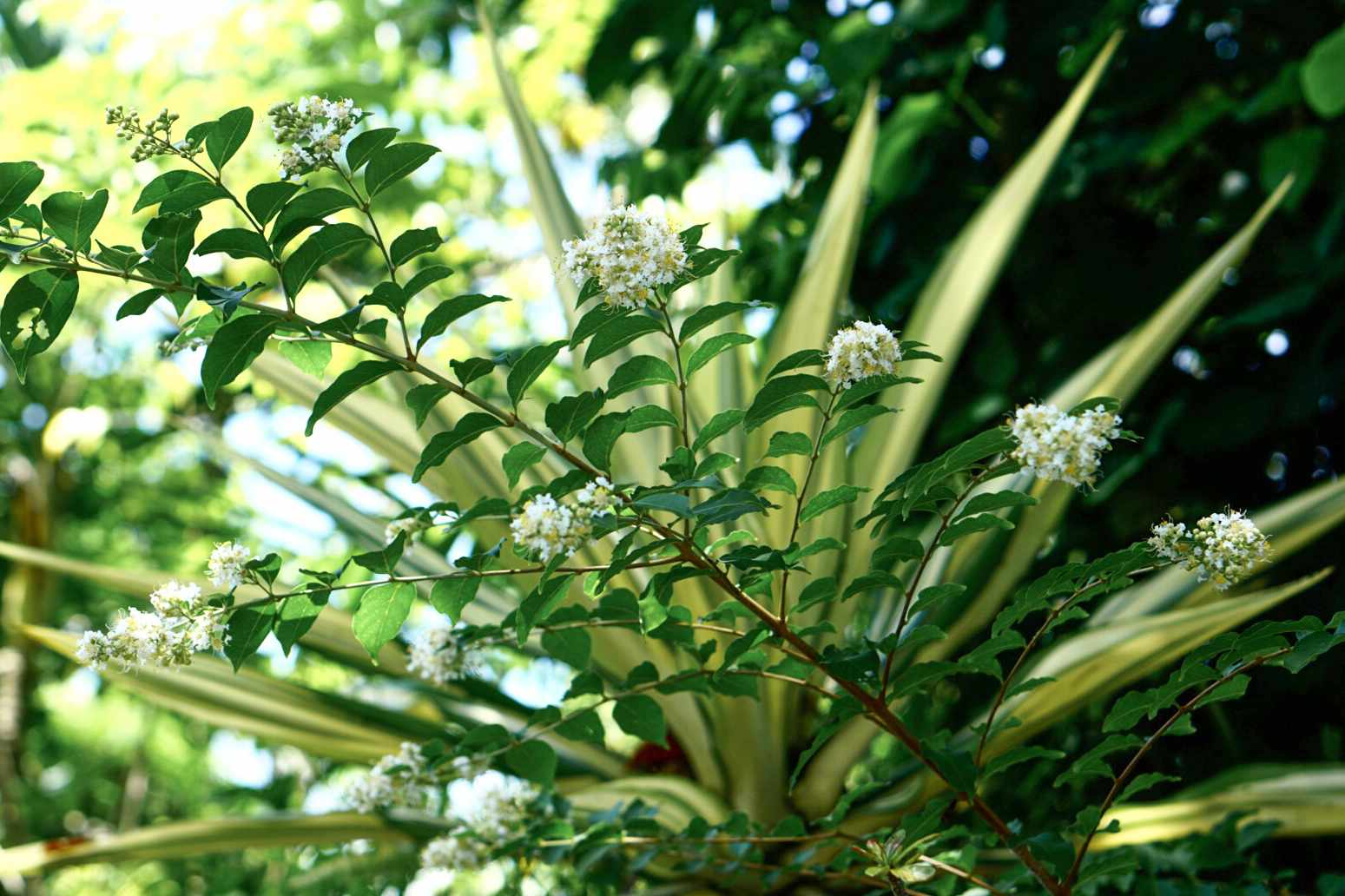 Natchez crepe myrtle tree branch with leaves and white blossoms against green foliage