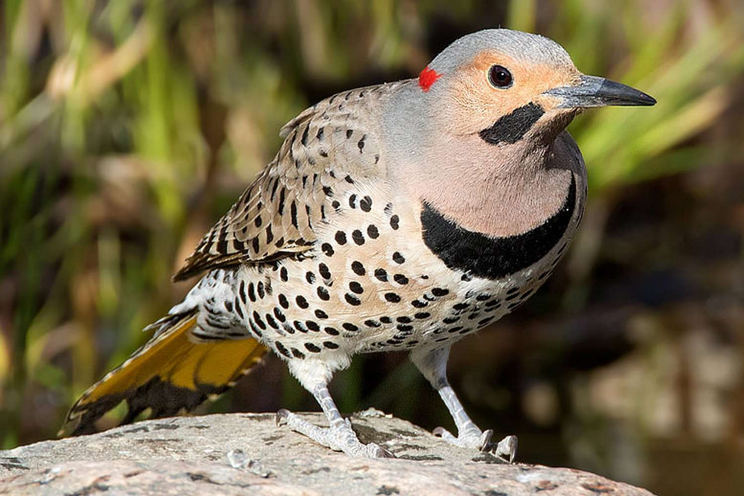Northern Flicker, the state bird of Alabama, standing on a ledge.