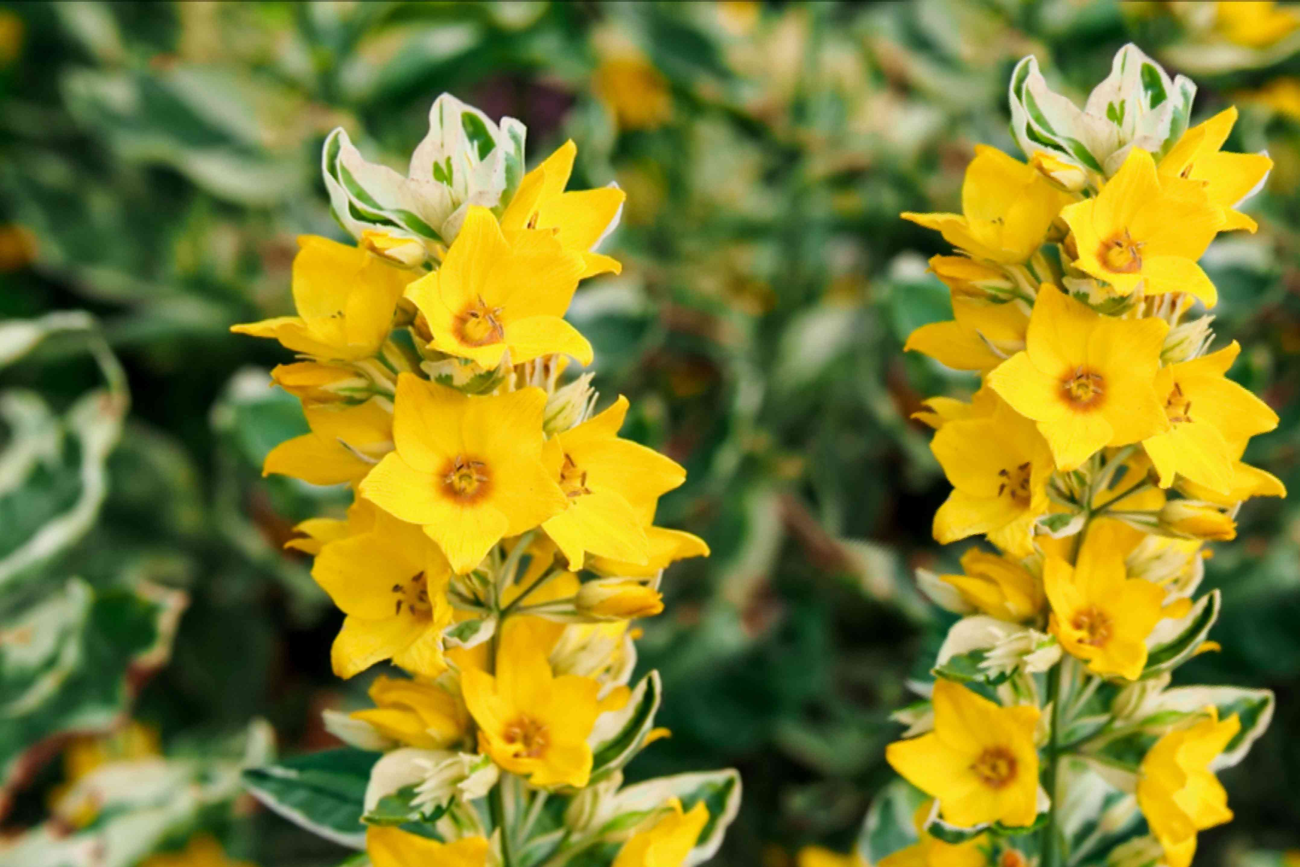 Variegated lysimachia plant stems topped with yellow star-like flowers and white marbled leaves closeup