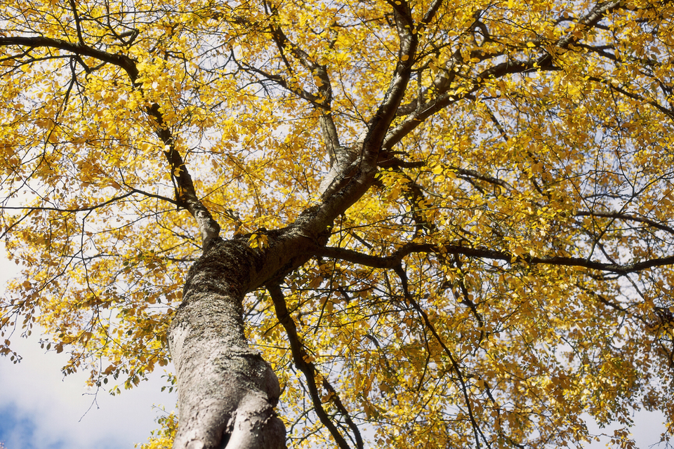 Betula lenta (sweet birch) in autumn color, shot from beneath.