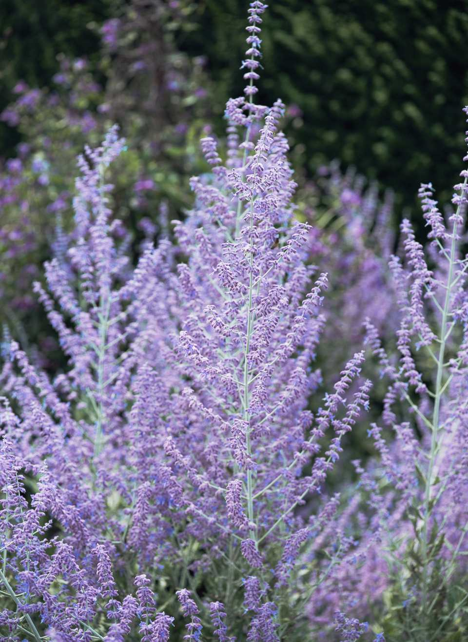 Low maintenance perennial flowers a closeup of blue spire russian sage izmirmasajfo