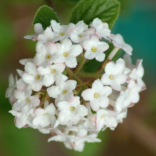 Picture of Koreanspice viburnum flower head.